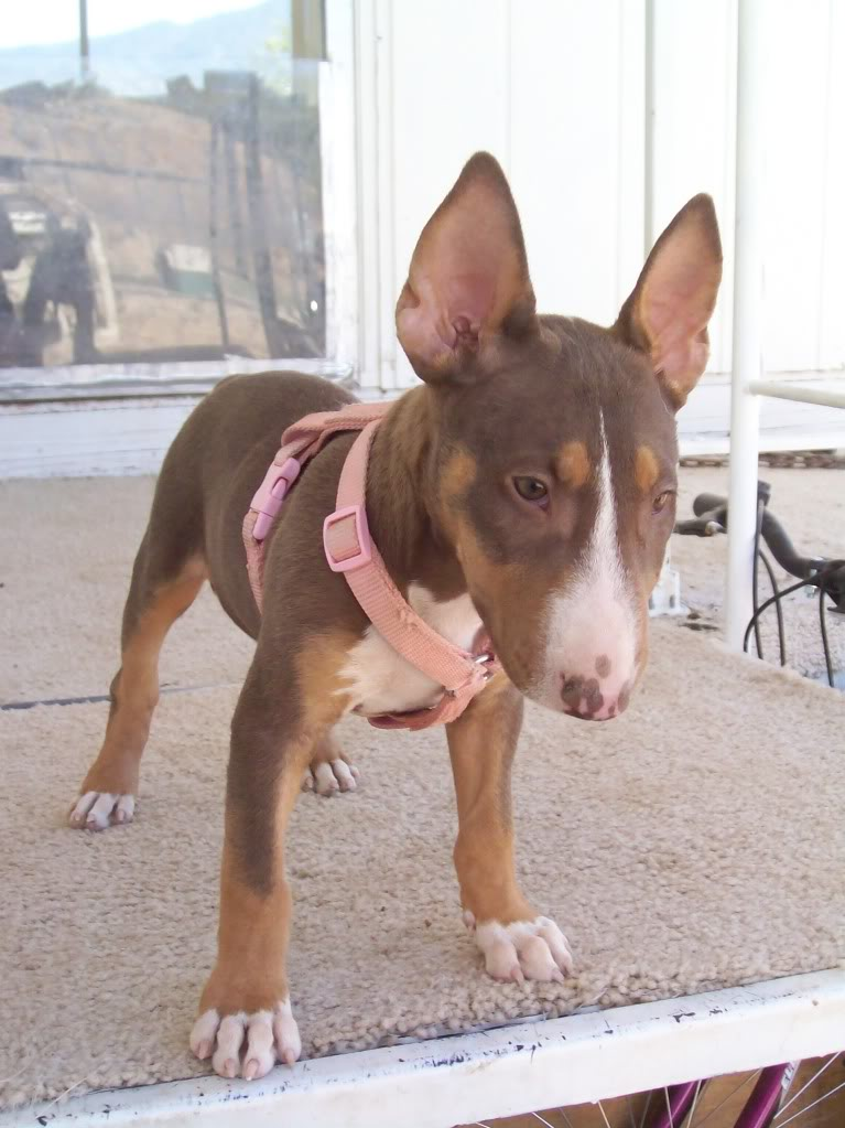 can you show a liver colored ebt strictly bull terriers