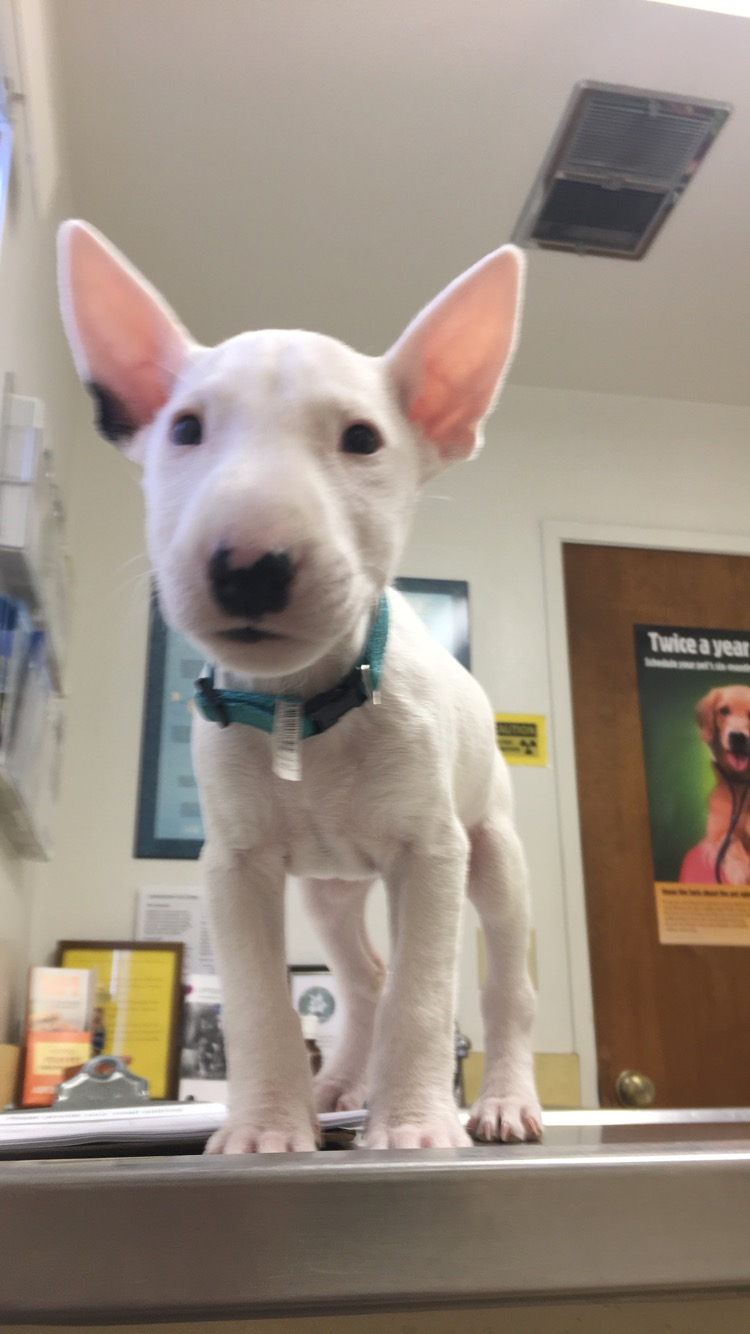 Vaak How much does your miniature bull terrier weigh puppy? - Strictly  VA28