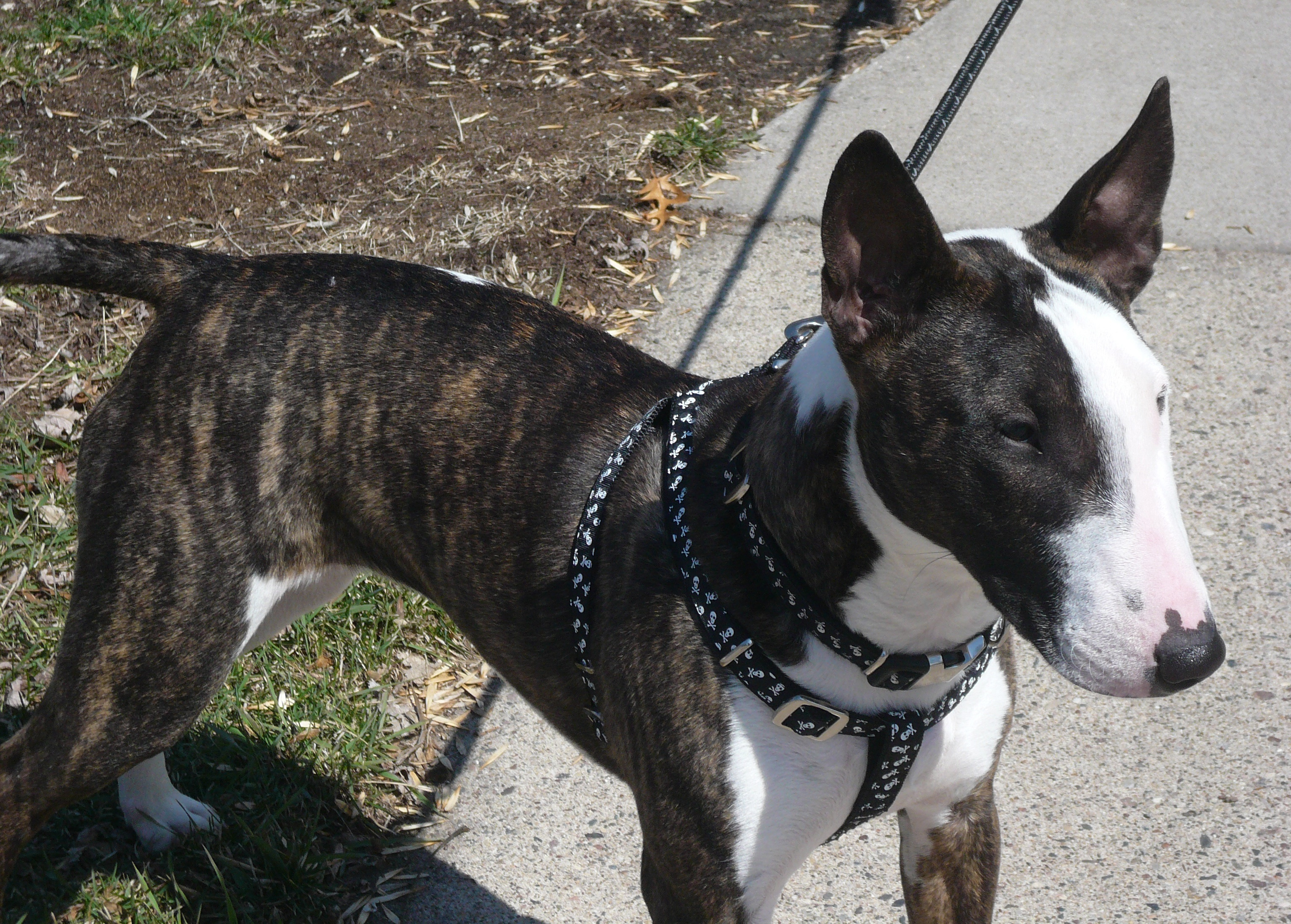Bull Terrier Harness Manufacturers Wire Center Mixedcircuits Delabs Schematics Electronic Circuit Best For Bullies Strictly Terriers Rh Bulliesofnc Com Collars Corgi Mix
